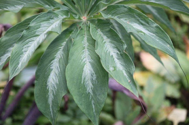 arisaema consanguineum