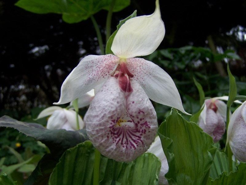 cypripedium formosanum01
