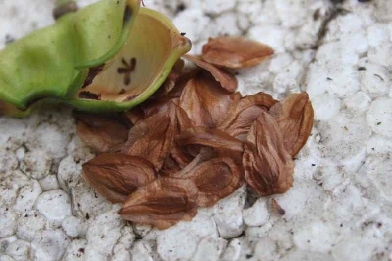 glaucidium palmatum