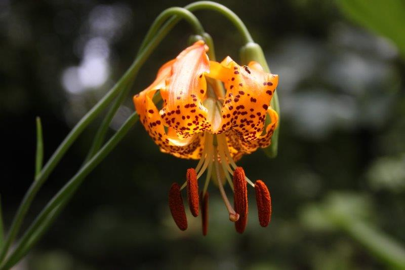 lilium species