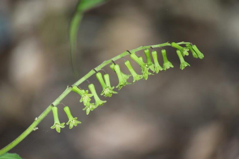 maianthemum henryi1