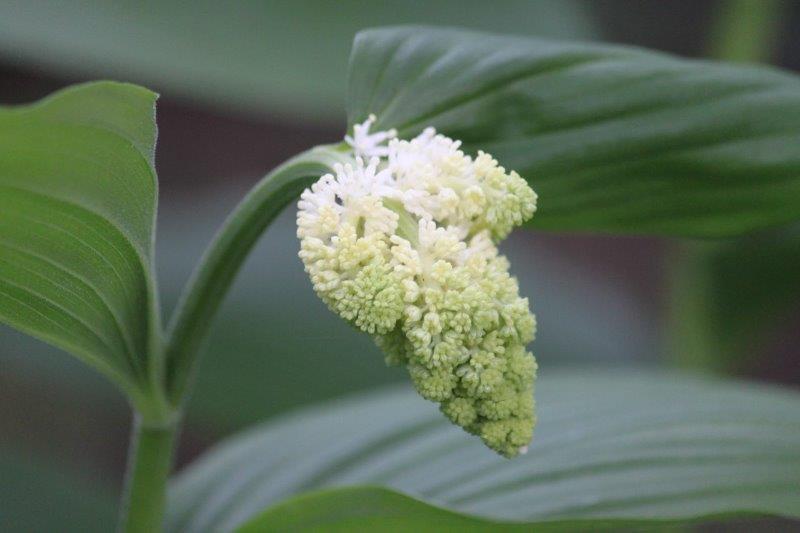 maianthemum racemosum2