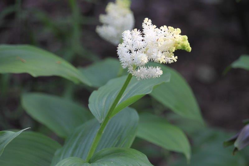 maianthemum racemosum3