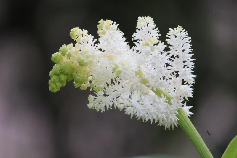 maianthemum racemosum4