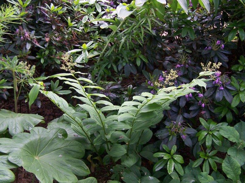 maianthemum species2