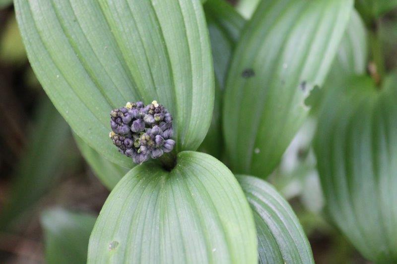 maianthemum species4 id1