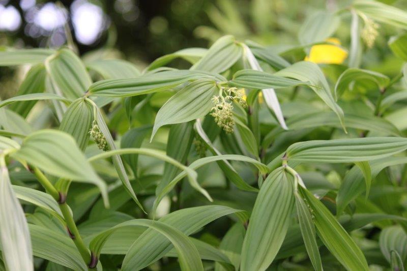 maianthemum species5