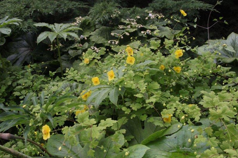 meconopsis chelidonifolia