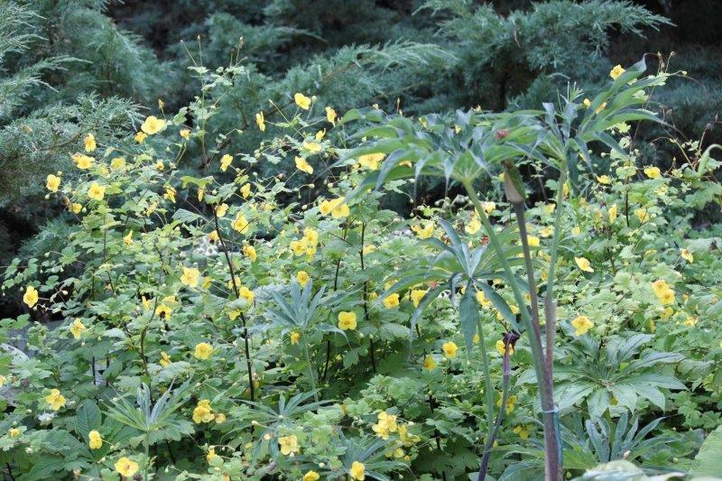 meconopsis chelidonifolia2