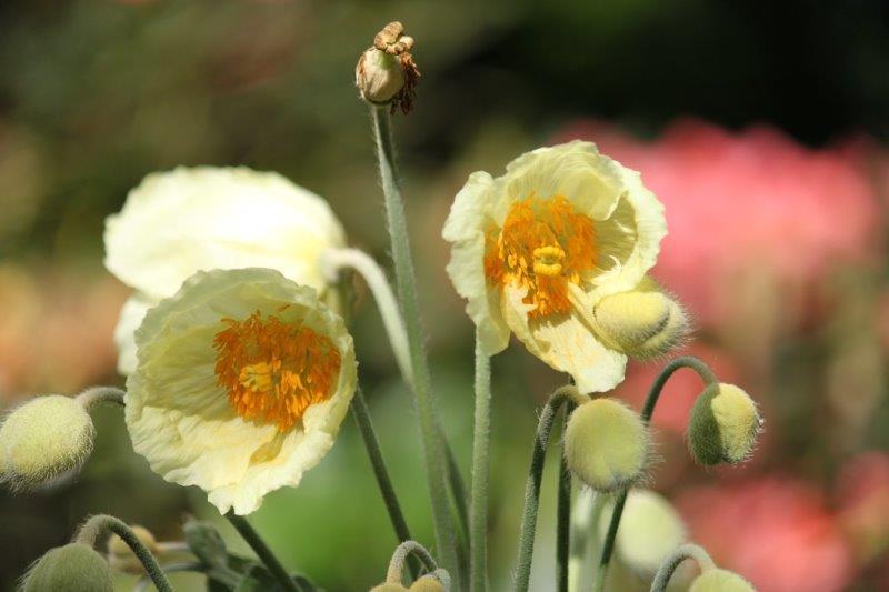meconopsis napaulensis hybrid3