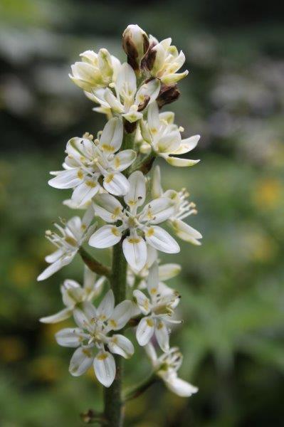 melanthium virginicum1