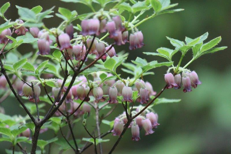 menziesia purpurea5
