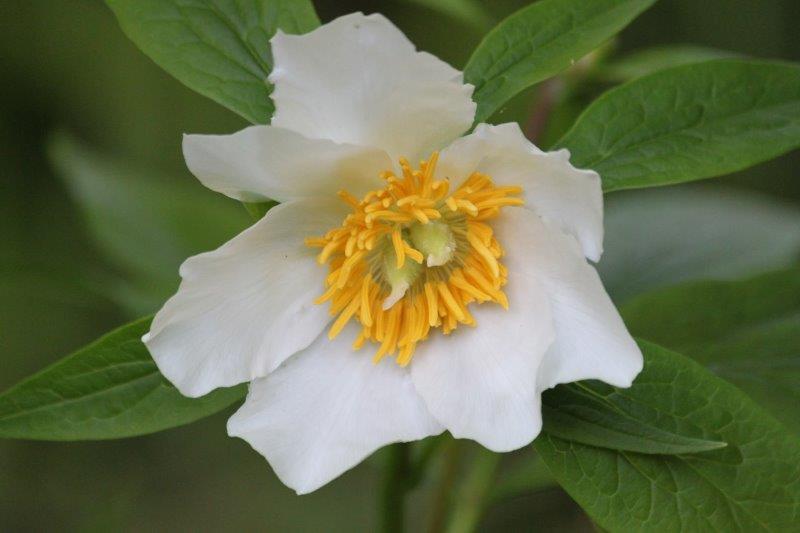 paeonia late windflower