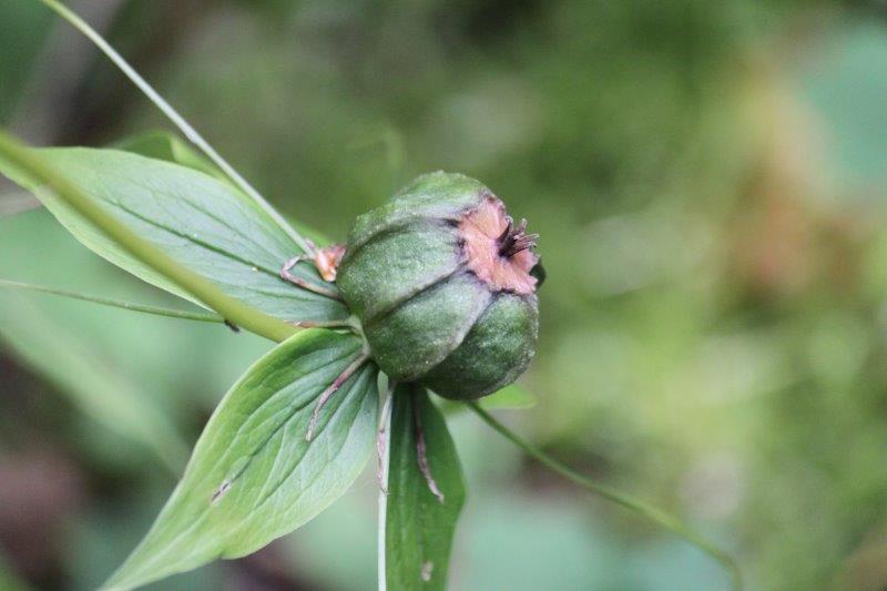 paris lancifolia5