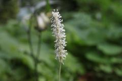 achlys triphylla2