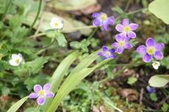 anemone obtusiloba pradesh