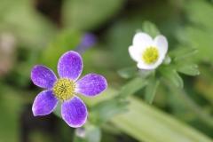 anemone obtusiloba pradesh1