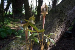 arisaema nepenthoides01