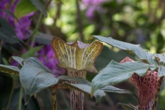 arisaema nepenthoides30