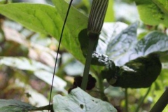 arisaema propinquum1