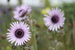 berkheya purpurea5