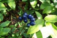 clintonia andrewsiana02