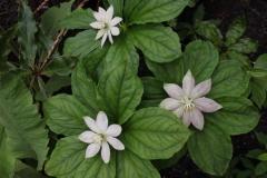 paris japonica1